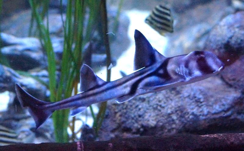 fokushima fischer fängt riesenfisch